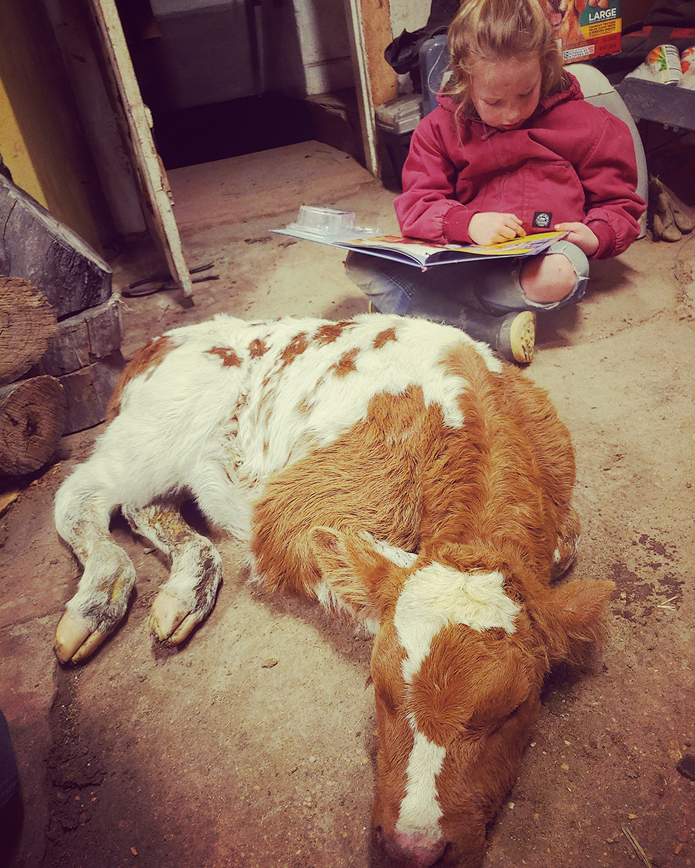 """Tif Kais showed her daughter Kimber reading to a cold calf by the wood stove. Nothing hasnt changed much for us with this COVID19, she said. """"Just another day on the ranch."""""""